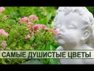 Душистые садовые цветы