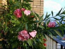 ОЛЕАНДР днем. Мой балкон 2010