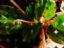 Нежный цветок Сенполия