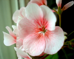 Цветочек герани