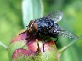 Большой, красивый, черный мух