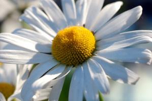 Ромашка ромашка...цветок полевой