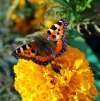 Последняя бабочка