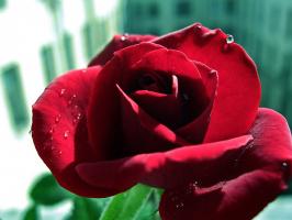 """Из серии """"Цветы на моём окне"""" Роза."""