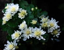 Белые ххризантены