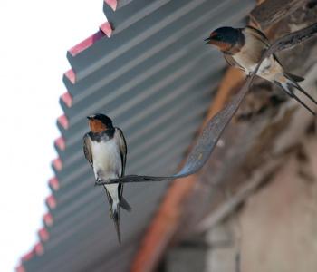 ласточки под крышей