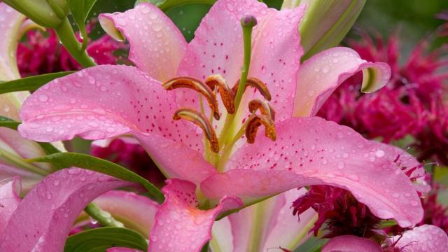 nature-wallpapers-lilium-pink