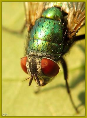 Зеленая падальная муха (Lucilia caesar)